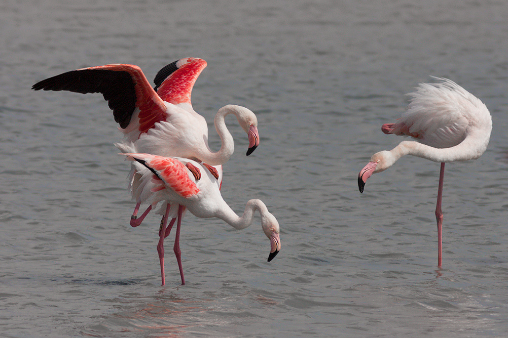 Flamant rose - Accouplement